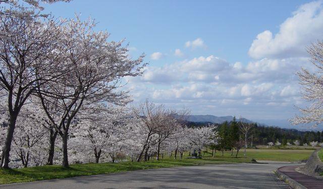 多分ソメイヨシノではなくて山桜なんじゃなかろーか。