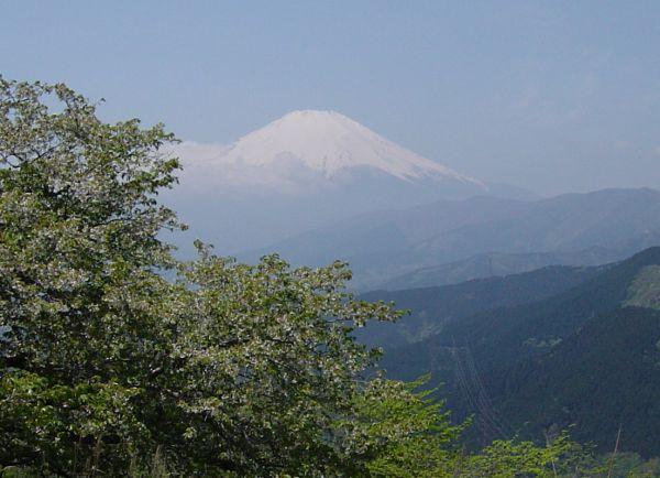 大野山山頂から眺めた富士山の勇姿。左手の白い花は山桜の最後の咲き残り。