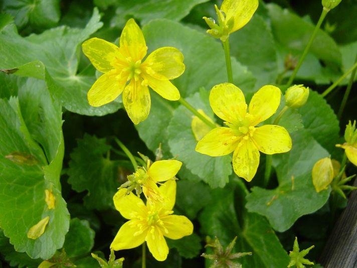 珍しい黄色いスミレ