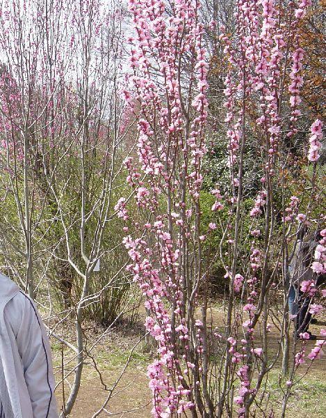 ほうき桃、という桃の木。ほうきが逆さまになったように枝が伸びます。